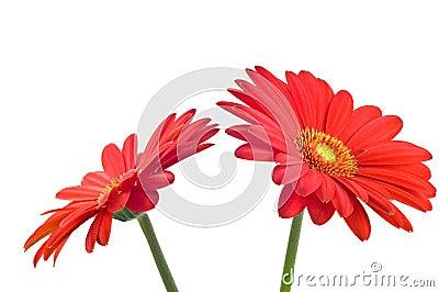 Vibrant Gerbera Daisy