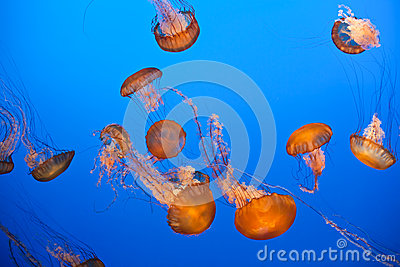 Vibrant orange jellyfish