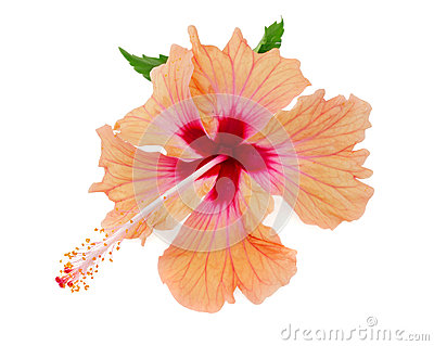 Vibrant orange and pink hibiscus isolated on white