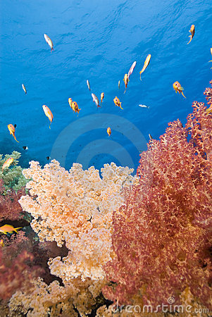 Vibrant Orange Soft Coral On A Tropical Reef. Stock Photo - Image: 16203550
