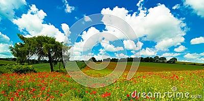 Vibrant Poppy Field