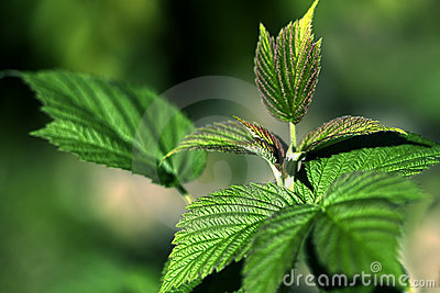Vibrant Raspberry Leaves