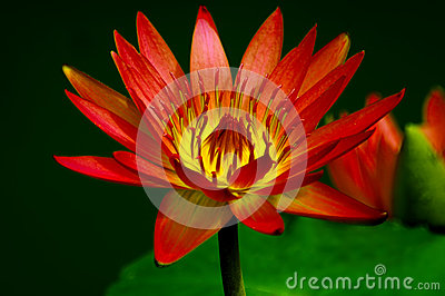 Vibrant red water Lily