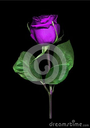 Free Vibrant Single Purple Rose Royalty Free Stock Images - 111948619