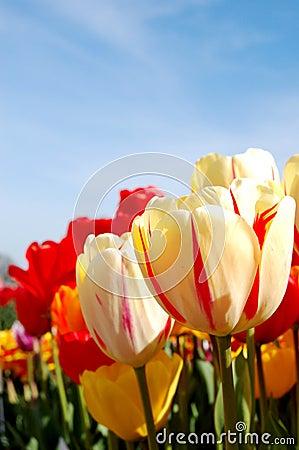 Free Vibrant Tulips Royalty Free Stock Photography - 2211677