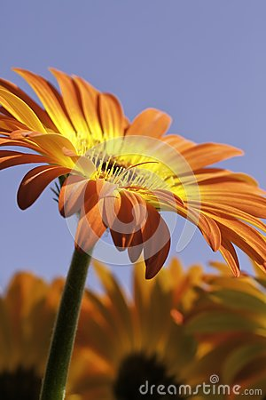 Vibrant Yellow and Orange Gerber Daisy