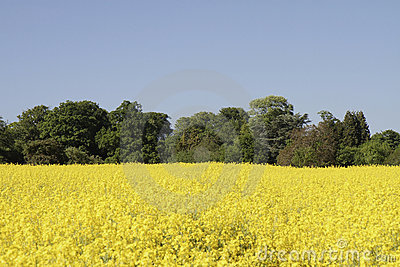 Vibrant yellow rapeseed field surrounded by trees