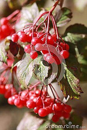 Viburnum branches outdoor