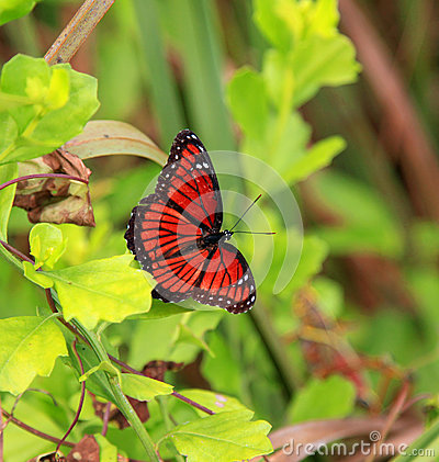 Free Viceroy Butterfly Royalty Free Stock Images - 31175229
