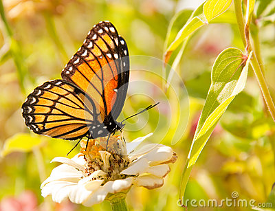Viceroy butterfly feeding on a white Zinnia
