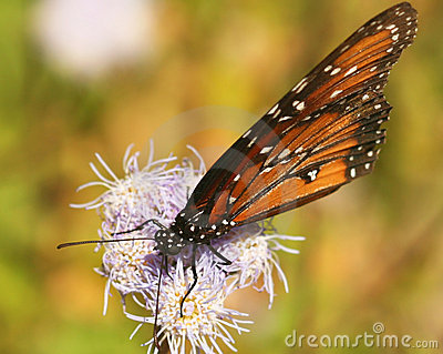 A Viceroy Butterfly Feeds on a Wildflower
