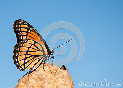 Viceroy butterfly resting on a dry leaf