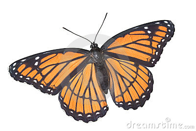 Viceroy butterfly on white