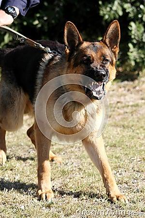 Free Vicious Police Dog Royalty Free Stock Photos - 6377298