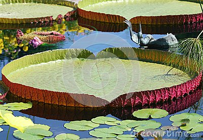 Victoria amazonica Lotus leaves with reflections