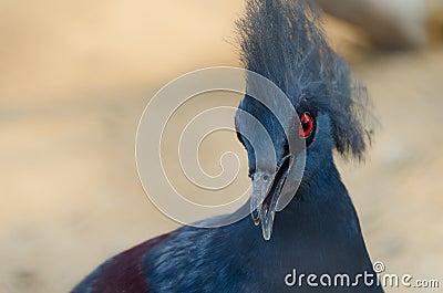 Victoria Crowned Pigeon Alerting