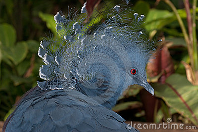 Victoria crowned pigeon (Goura victoria)