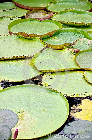 Victoria lotus leaf on water