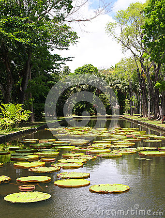 Victoria regia (water lily) in botanical garden