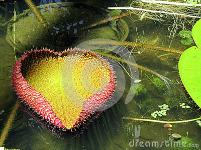 Victoria Regia Water Lily Leaf