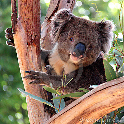 Victorian Koala in a Eucalyptus Tree