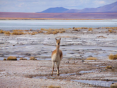 Vicuña on altiplano