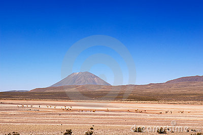 Vicuñas under Misti volcano