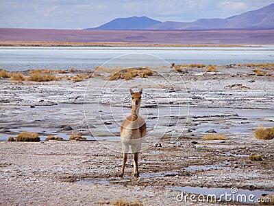 Vicuña on altiplano