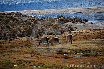 vicugnas in Lauca national Park