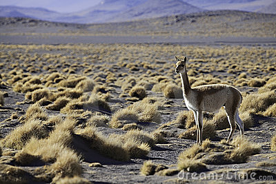 Vicuna ancestor of lama and alpaca in Andes