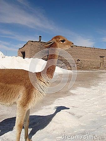 Free Vicuna In Bolivia Stock Photo - 4392190