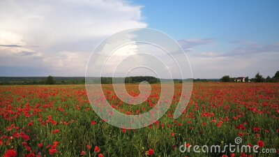 Video motion field with green grass and red poppies against the sunset sky. Beautiful field red poppies with selective stock video