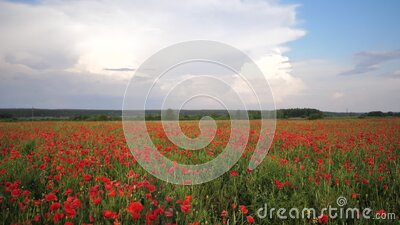 Video motion field with green grass and red poppies against the sunset sky. Beautiful field red poppies with selective stock footage