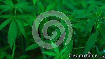 Videocannabis sativa gelijkaardige installatie aan marihuana stock videobeelden