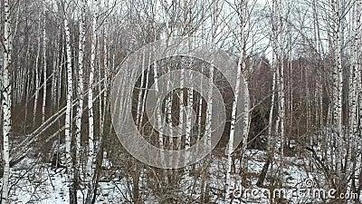 vidoeiros brancos no inverno vídeos de arquivo