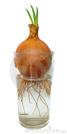 Vidrio del resorte de la cebolla