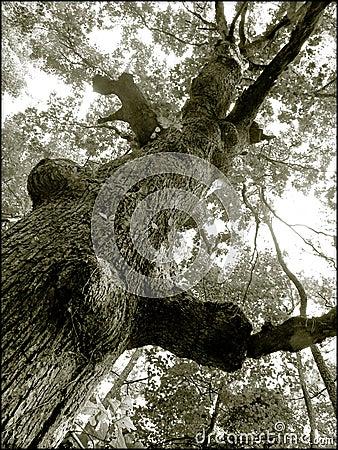 Vieil arbre