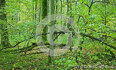 vieille for t feuilles caduques avec l 39 arbre de tilleul images stock image 6685404. Black Bedroom Furniture Sets. Home Design Ideas