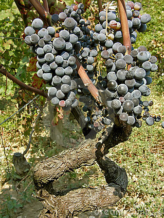 Vieilles vignes (tige) avec des raisins