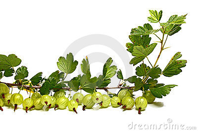 Viel goosenberry auf einem Brunch mit Blättern