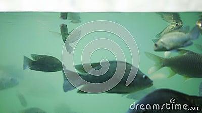 Viele Fische schwimmen im Wasser stock video