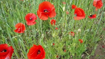 Viele großen Köpfe von roten Mohnblumen auf dem Feld Sommerfeld stock video