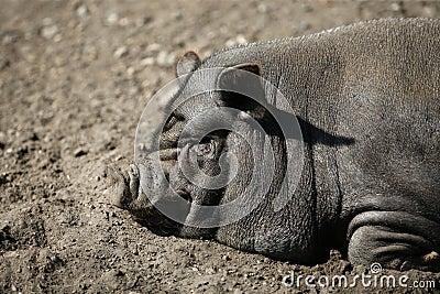 Vietnam pig portrait
