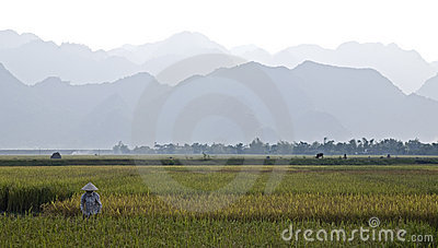 Vietnamese Farmer in Rice Field
