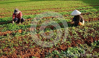 Vietnamese farmer working on vegetable farm