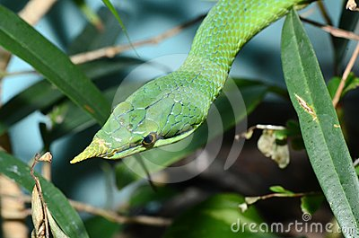 Vietnamese long nose snake2