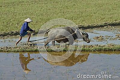 Vietnamese plowman Editorial Photo