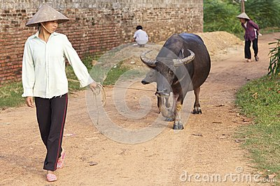 Vietnamese Woman with Water Buffalo Editorial Stock Image
