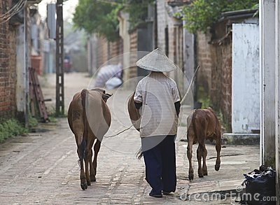 Vietnamese Woman with Water Buffalo Editorial Stock Photo