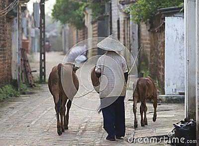 Vietnamese Woman with Water Buffalo Editorial Stock Photo